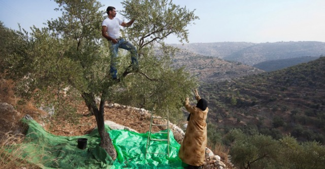 west-bank-olive-harvest-fb